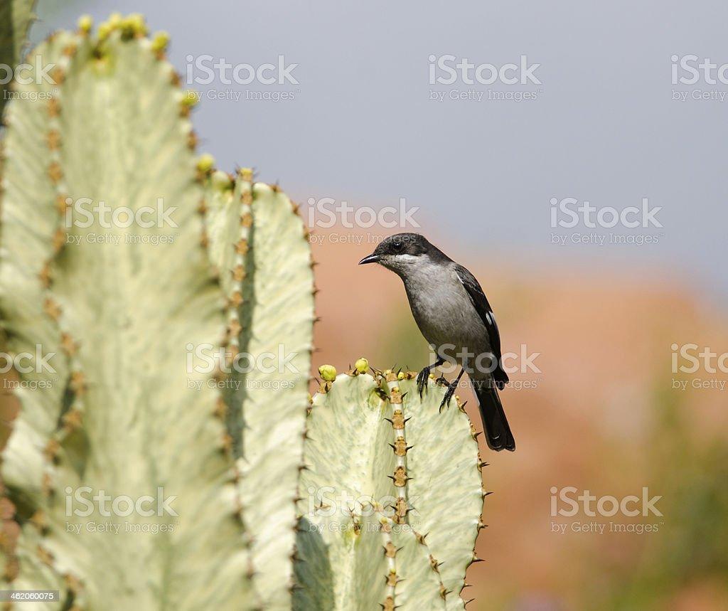 Shrike on cactus stock photo