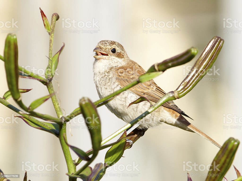 Shrike on lily bush stock photo