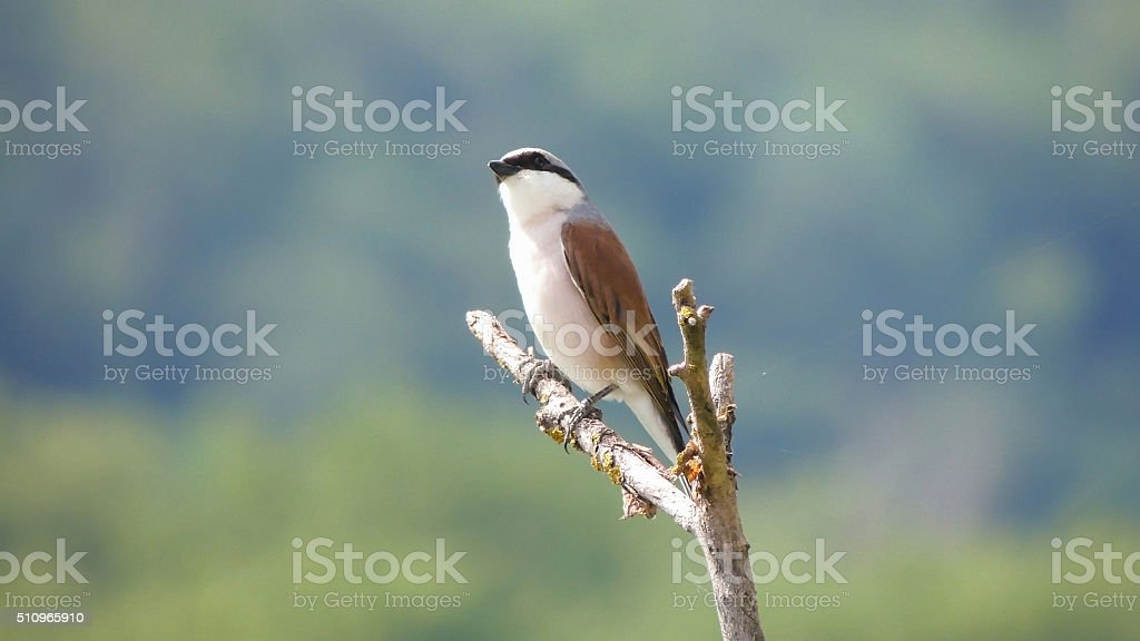 Shrike (Lanius collurio) stock photo