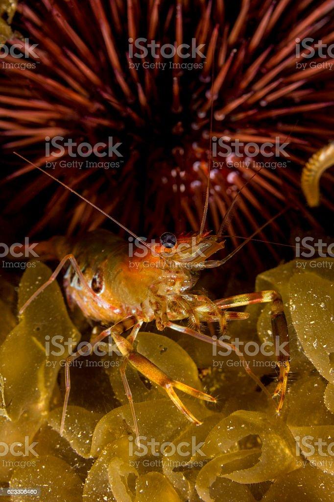 shrimp and sea urchin stock photo