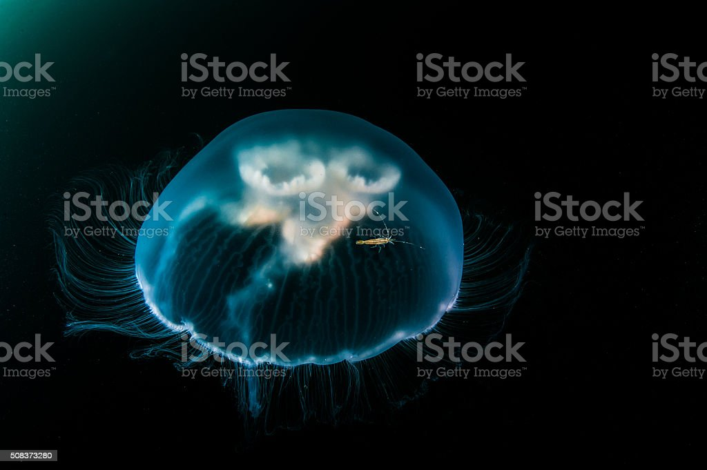 Shrimp riding jellyfish. stock photo