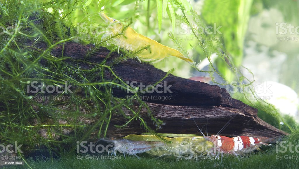 Shrimps in an aquarium royalty-free stock photo