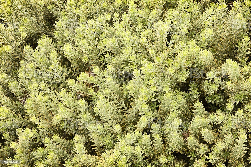 Shrub Bush Plant Variegated Leaves stock photo