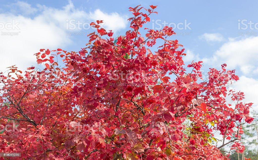 Shrub of viburnum with autumn leaves and berries stock photo