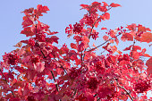 Shrub of viburnum with autumn leaves and berries