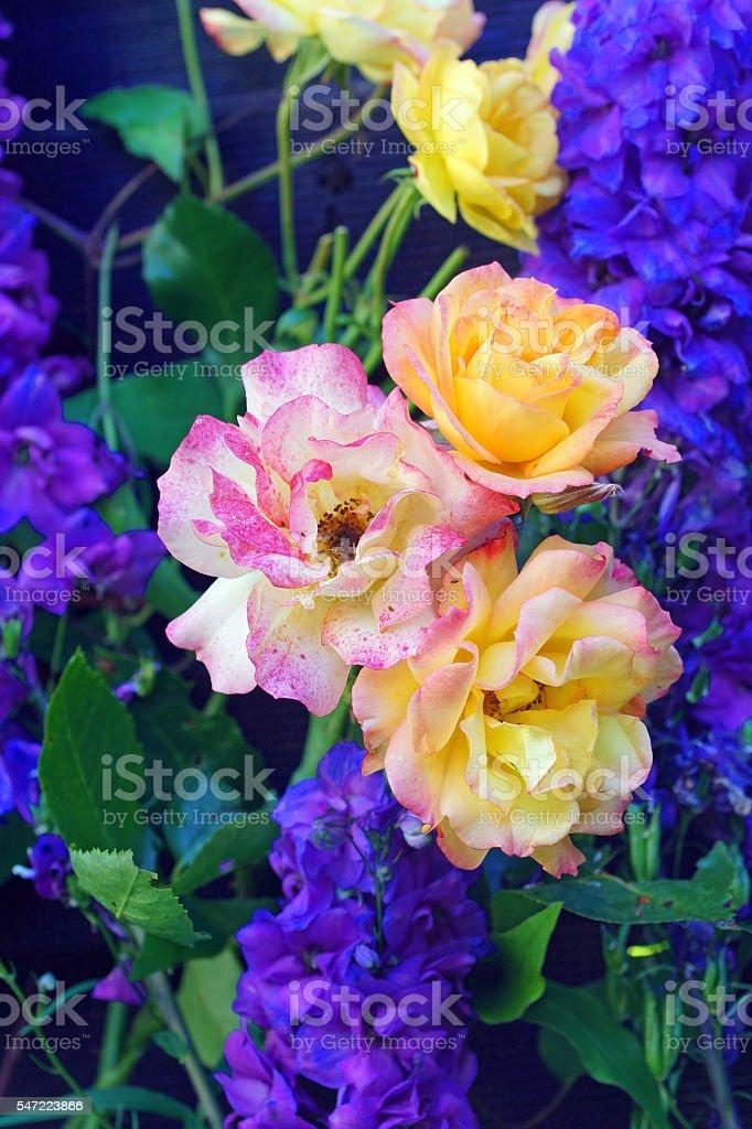 Shrub rose 'Bonanza' and delphinium stock photo