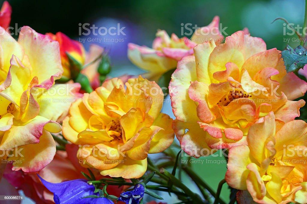 Shrub rose 'Bonanza' stock photo
