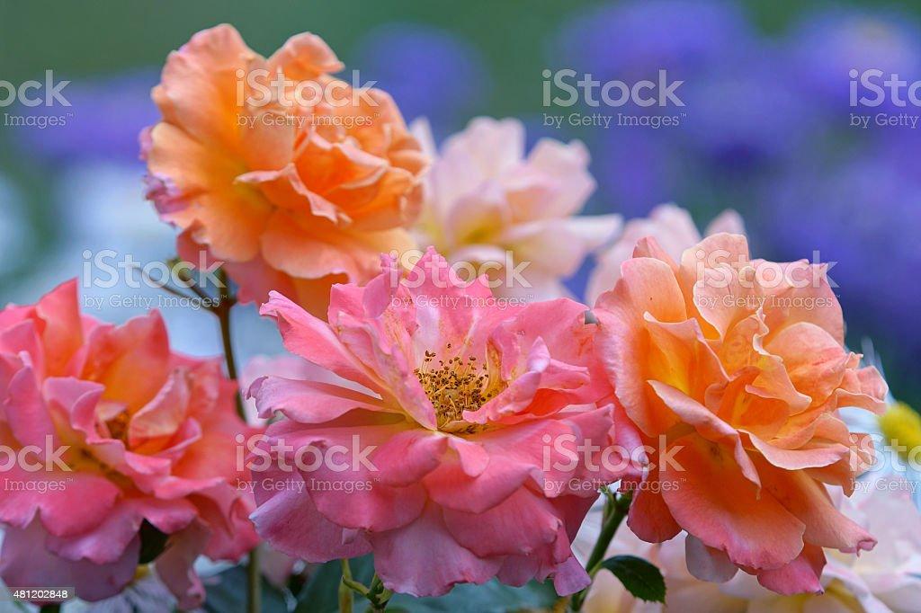 Shrub rose 'Freisinger Morgenr?te' stock photo