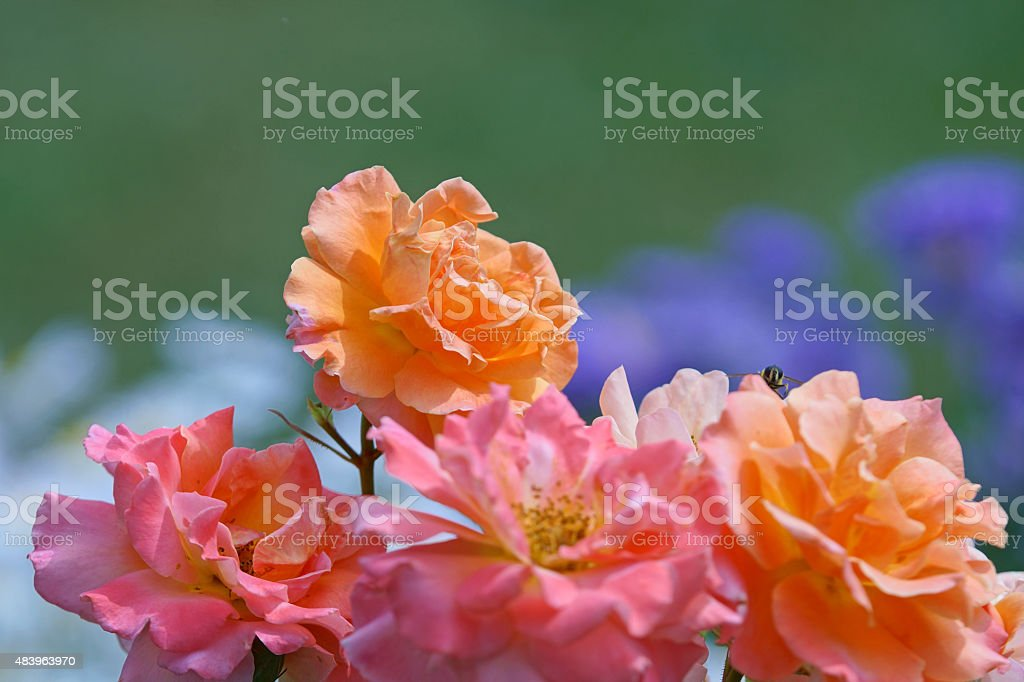 Shrub rose 'Freisinger Morgenr?te' stock photo