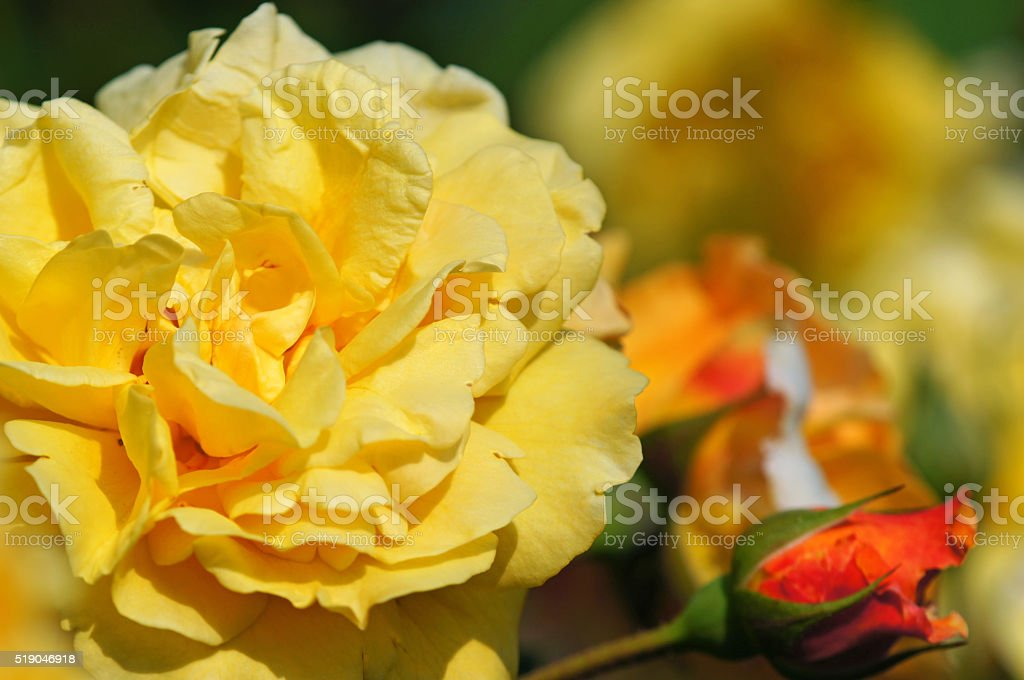 Shrub rose 'Postilion' stock photo