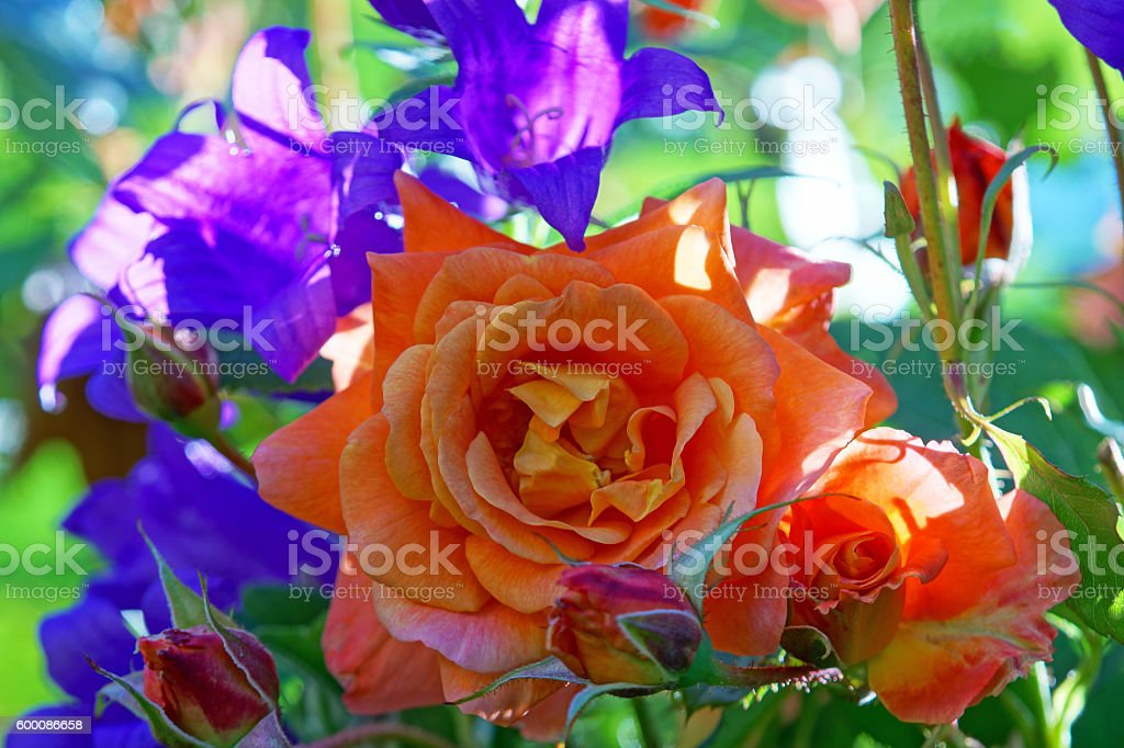Shrub rose 'Westerland' and bellflowers stock photo