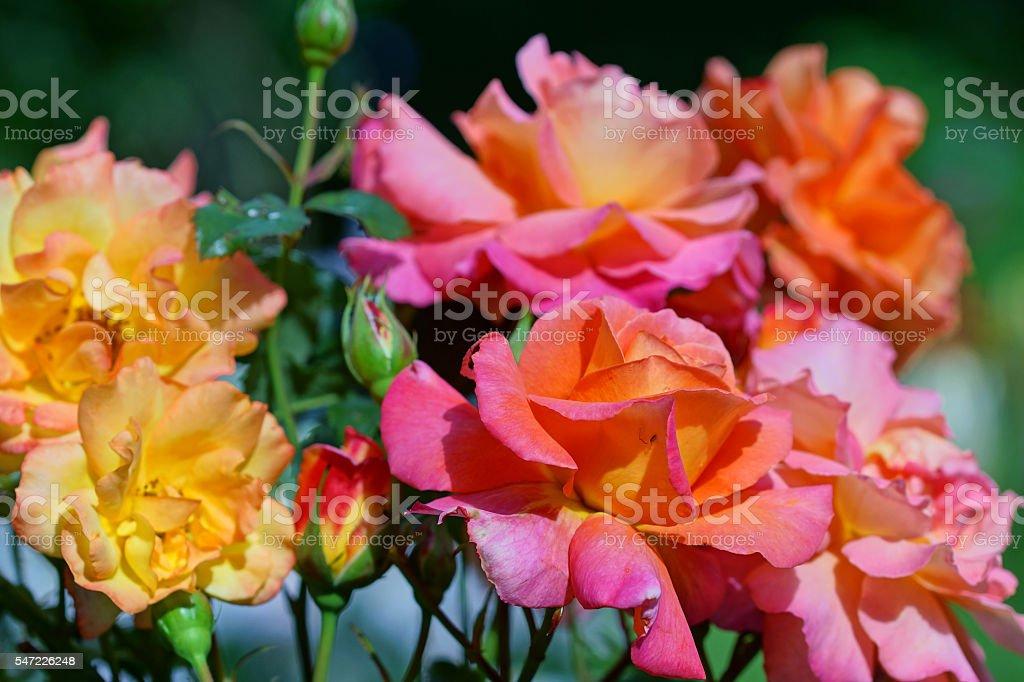 Shrub roses 'Freisinger Morgenröte' and 'Bonanza' stock photo