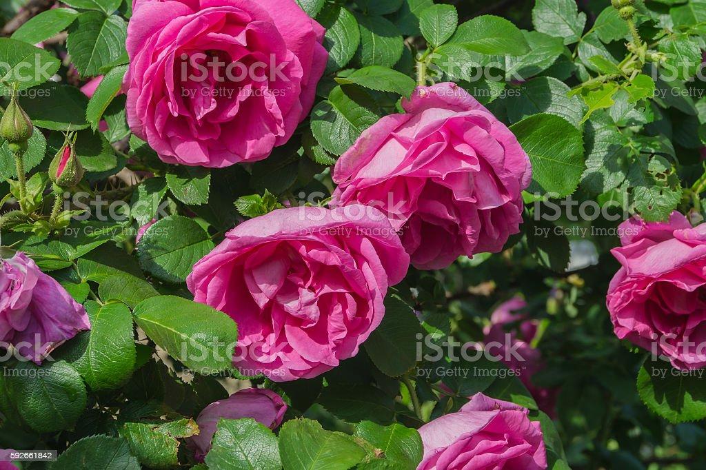Shrub (pink) - WikiVisually