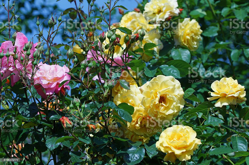 Shrub roses 'Postilion' and 'Freisinger Morgenröte' stock photo