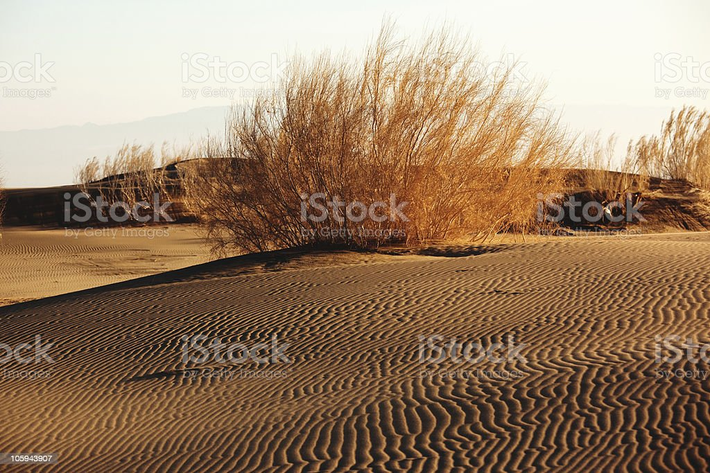 Shrub Saxaul (Haloxylon) in sand desert royalty-free stock photo