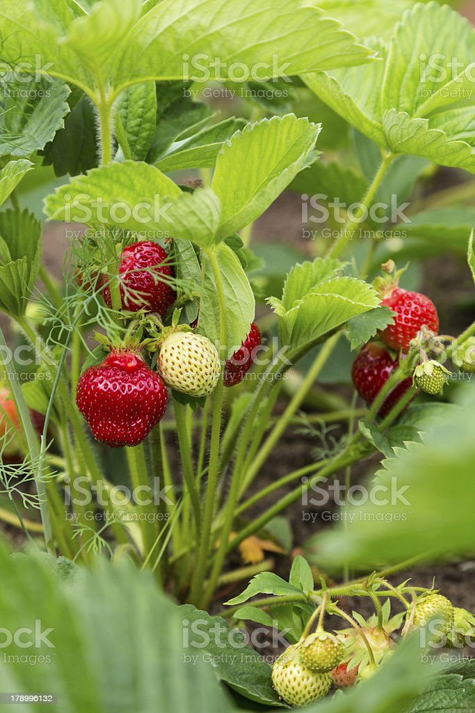 shrub strawberries with red and green royalty-free stock photo
