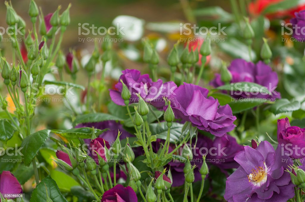 Shrub with beautiful purple roses in the garden. stock photo