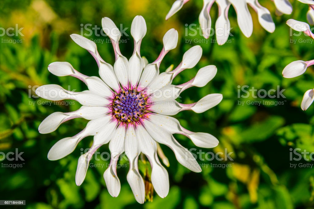 shrubby daisybush also called trailing African daisy stock photo