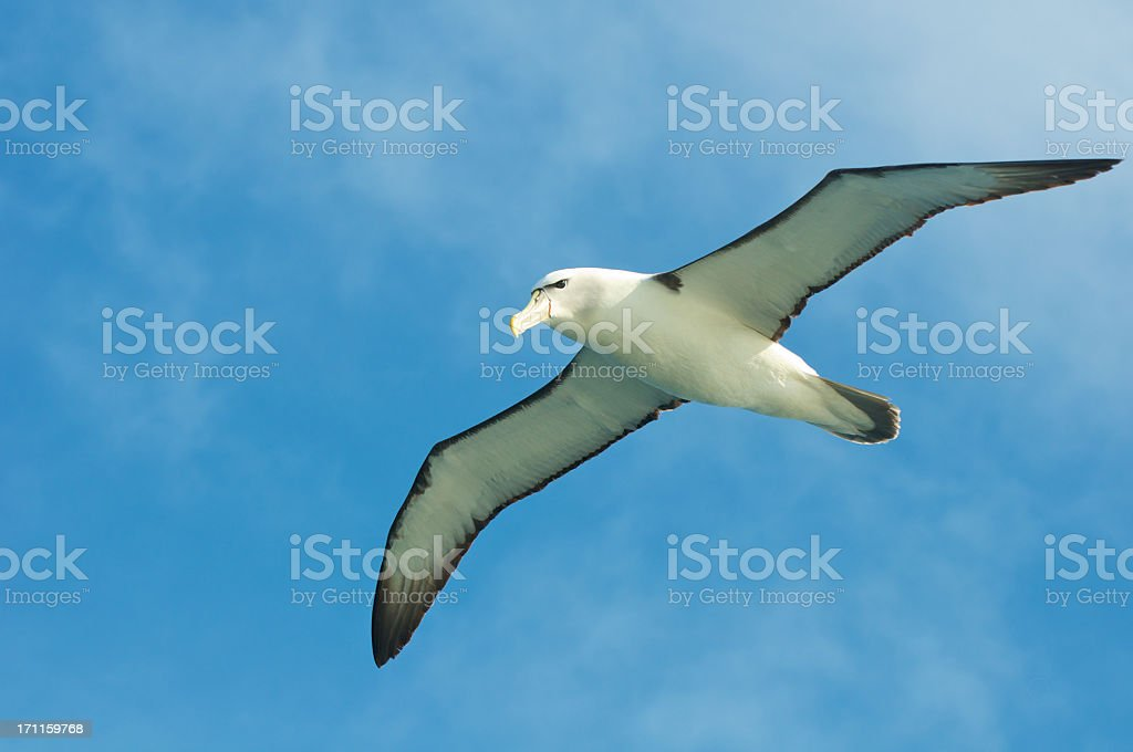 Shy Albatross flying ocean stock photo