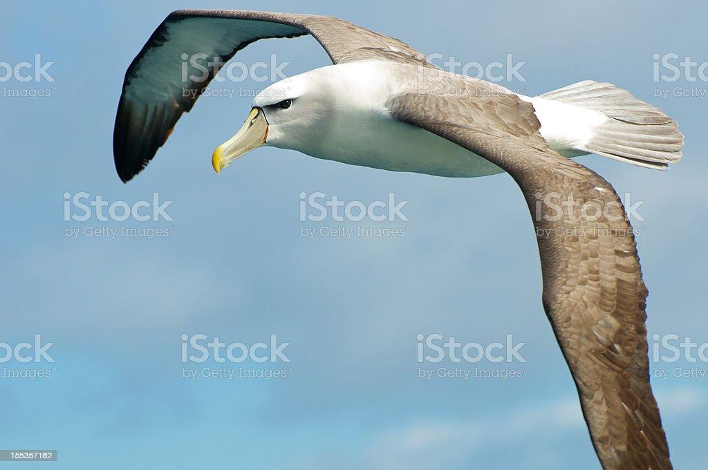 Shy albatross stock photo