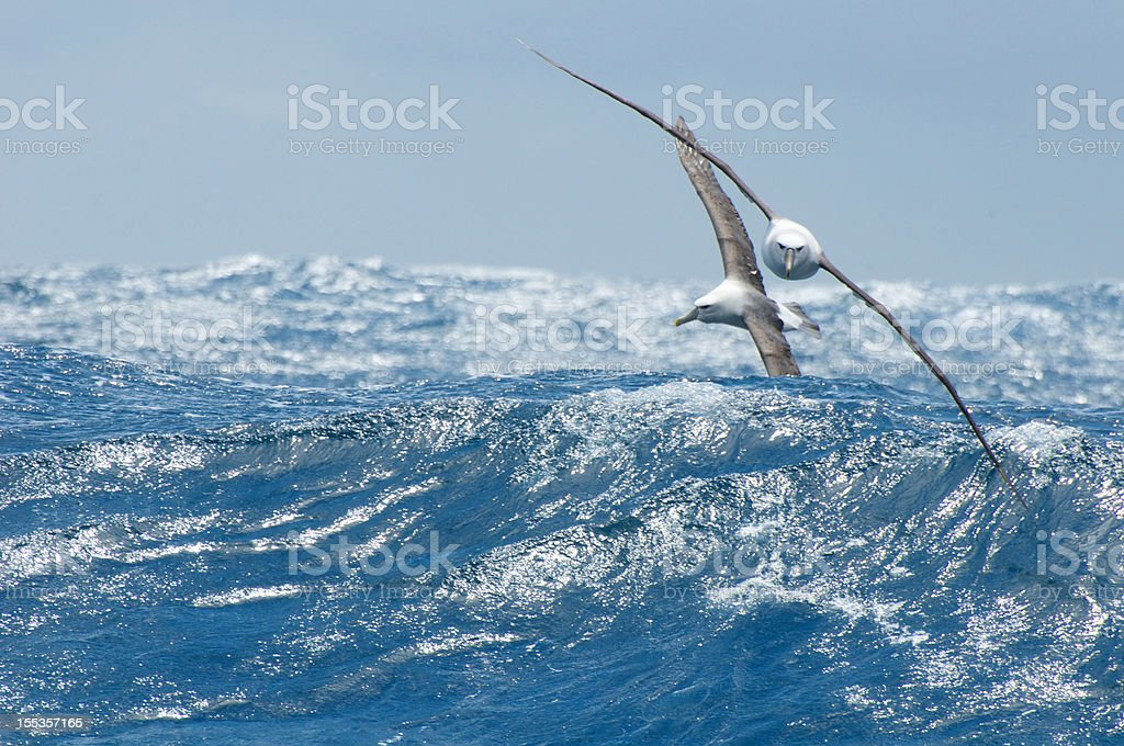 Shy  and black browed albatross over waves stock photo