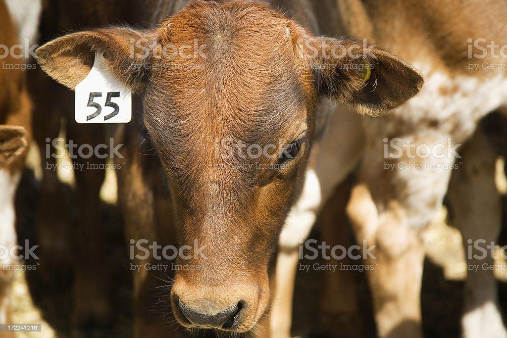 shy calf stock photo