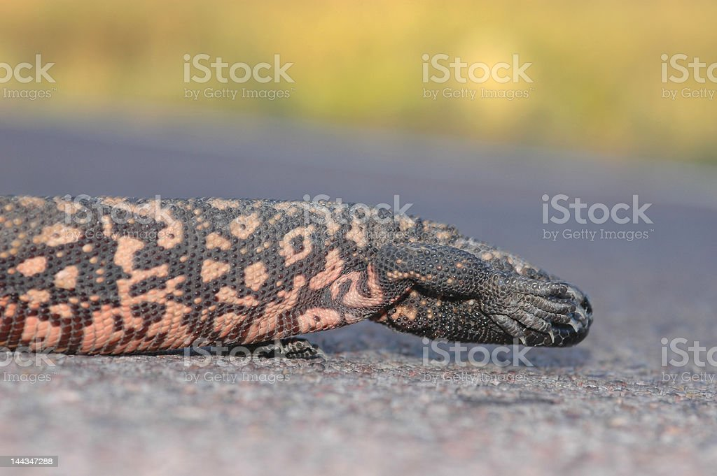Shy Gila Monster stock photo