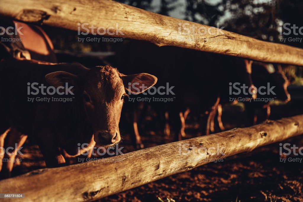 Shy jersey calf looking through fence of farm stock photo
