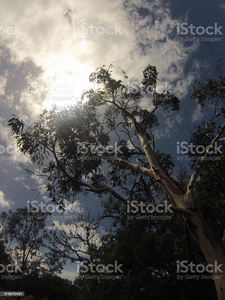 Shy koala stock photo
