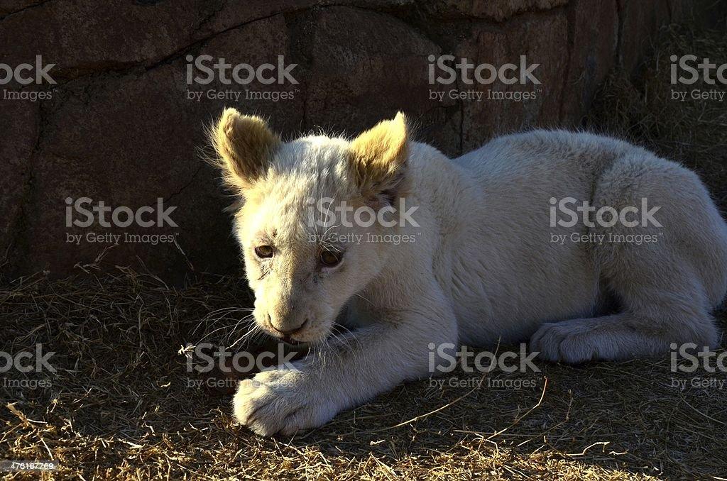 Shy lion cub royalty-free stock photo