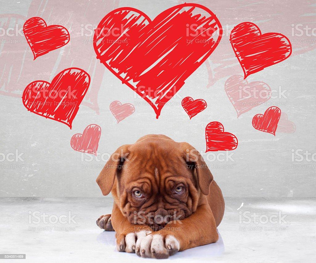 shy love of a dog de bordeaux puppy stock photo