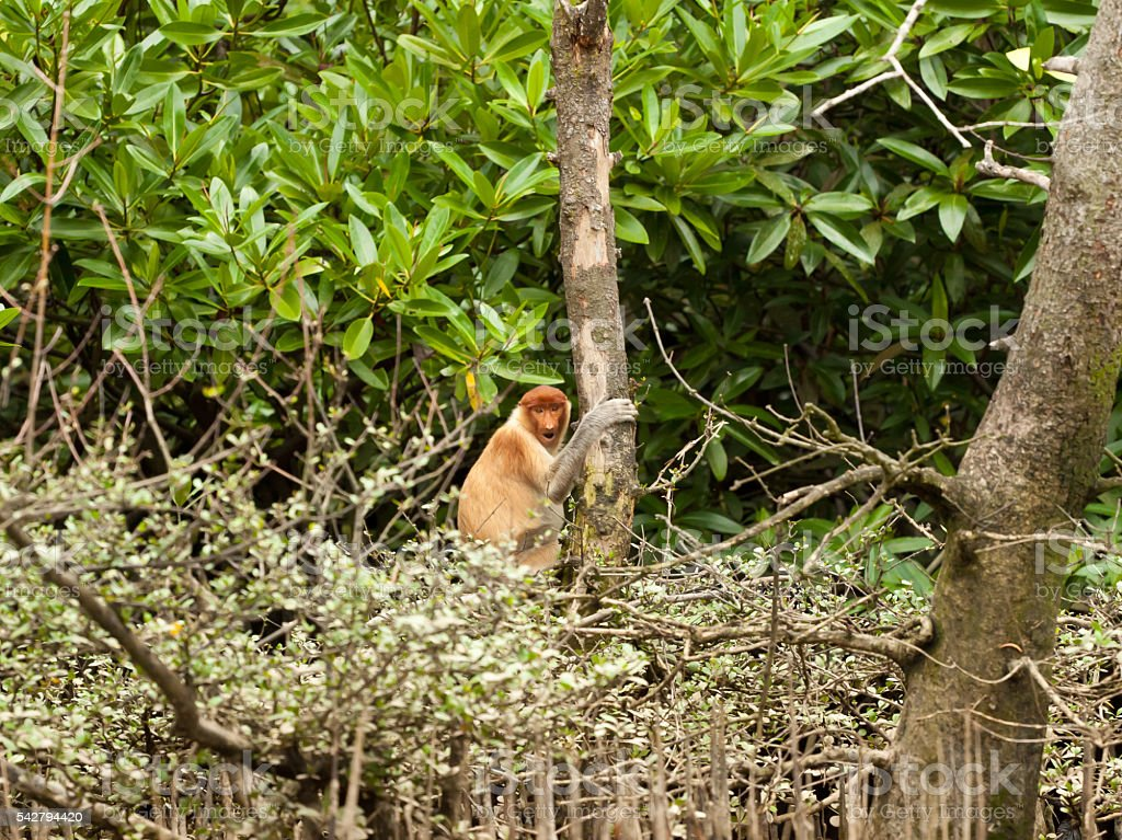 shy probiscus monkey sitting in a tree stock photo