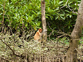 shy probiscus monkey sitting in a tree