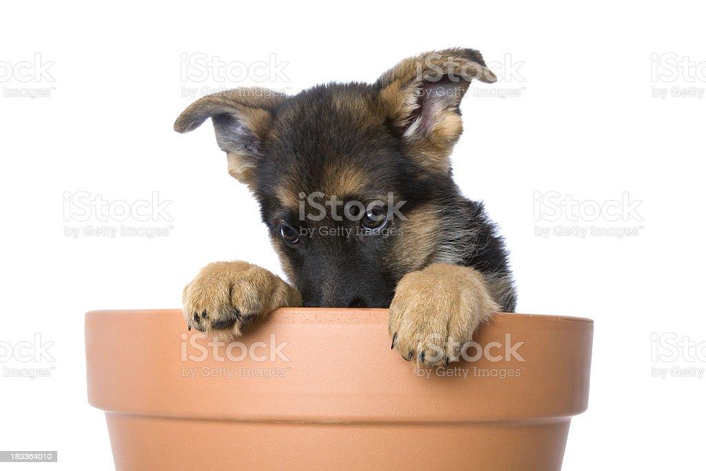 Shy Puppy royalty-free stock photo