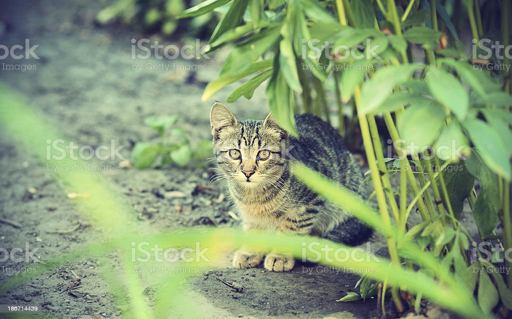Shy young cat, look at the camera, from under bush royalty-free stock photo