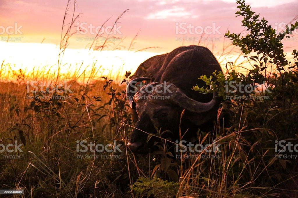 Shyness and the Sunrise - Buffalo stock photo