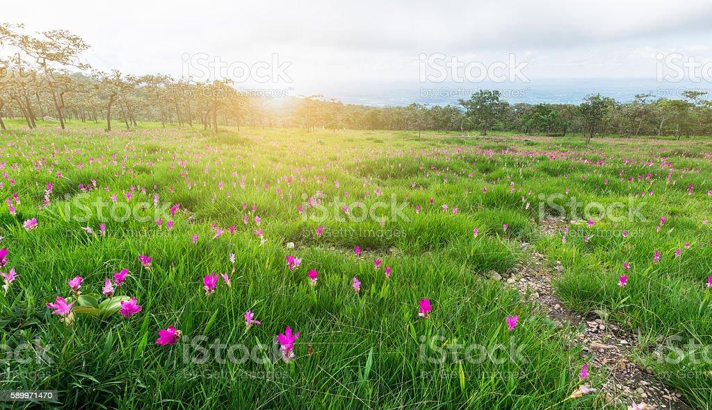 Siam Tulip field, Curcuma alismatifolia flower. stock photo