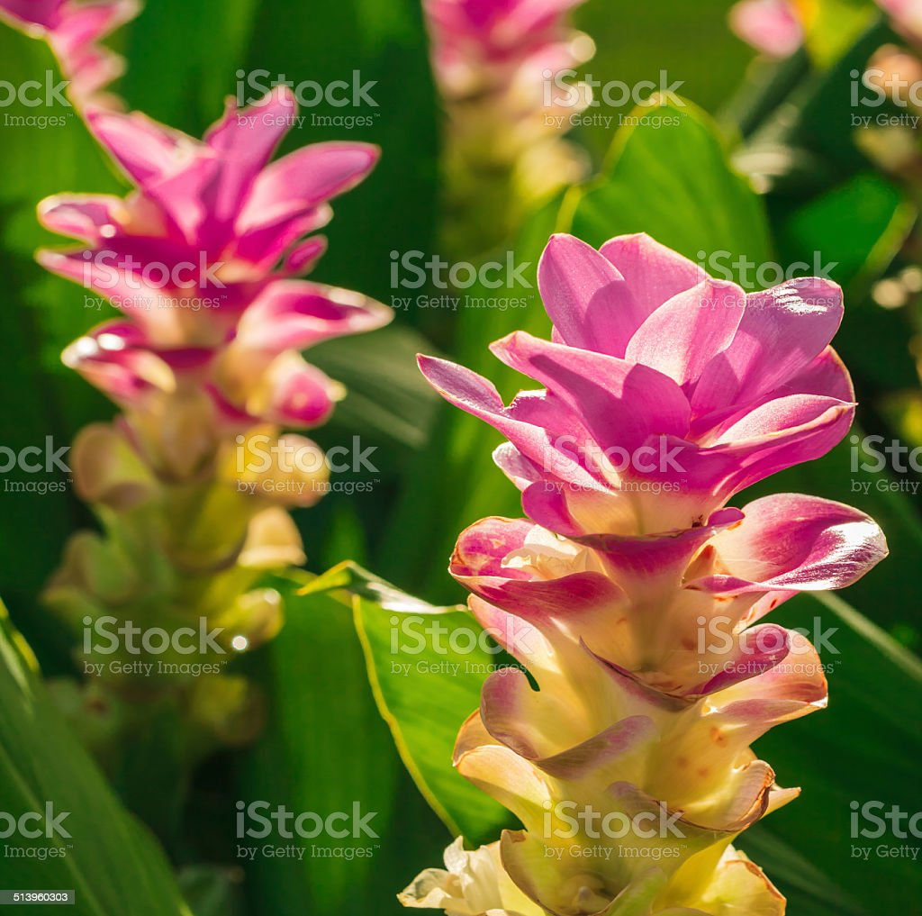 siam tulip stock photo