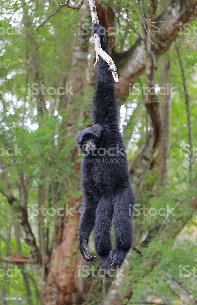 Siamang, black furred gibbon on the tree stock photo