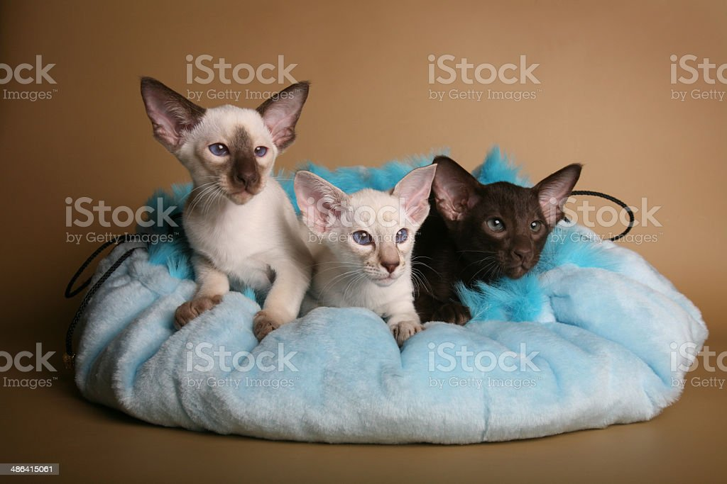 Siamese and oriental kittens laying on a bed royalty-free stock photo