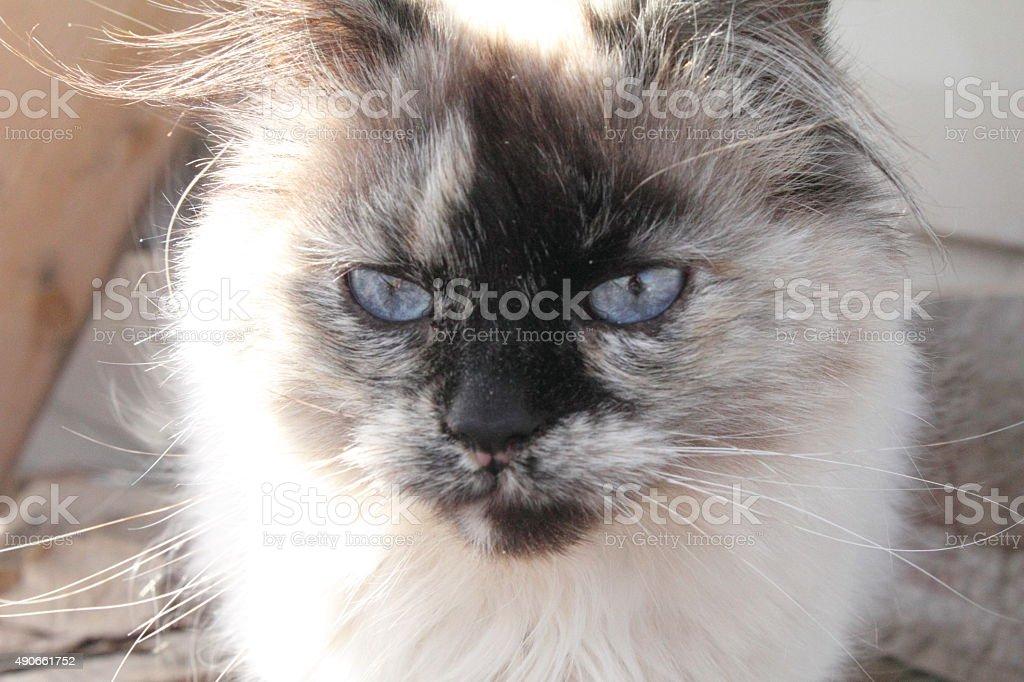 Siamese cat face stock photo