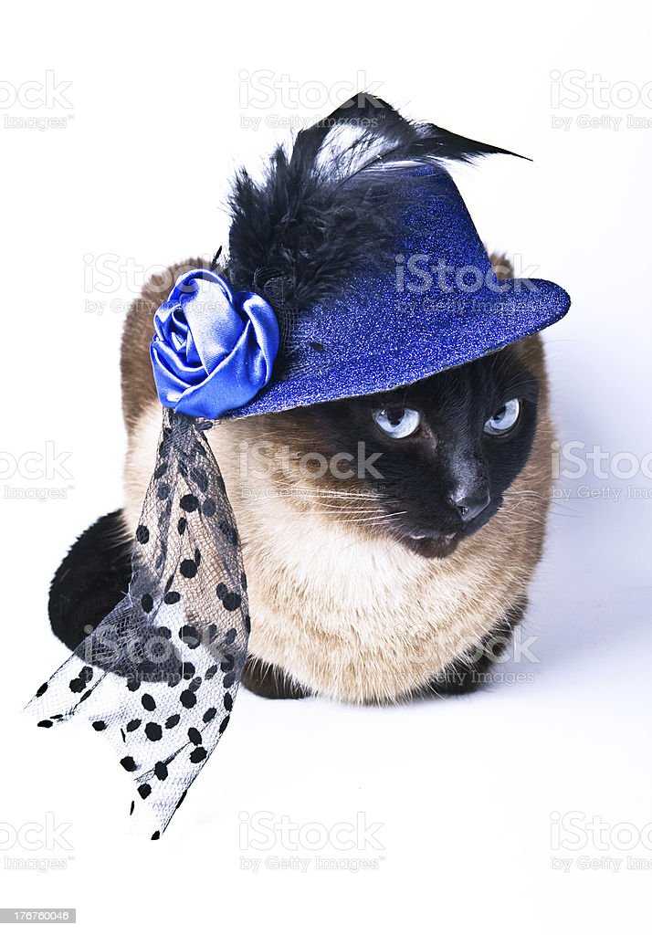Siamese Cat Hilarious Party Animal isolated on the white background stock photo