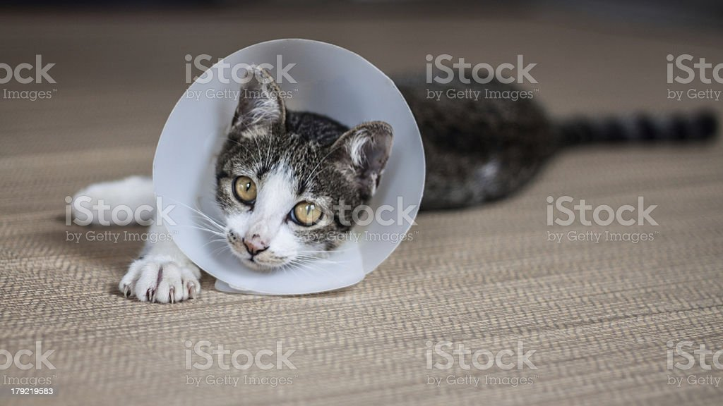 Siamese cat in a collar royalty-free stock photo