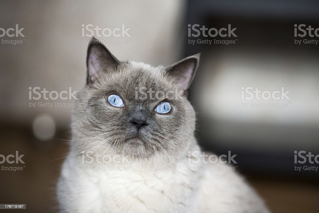 Siamese cat looking with hope stock photo