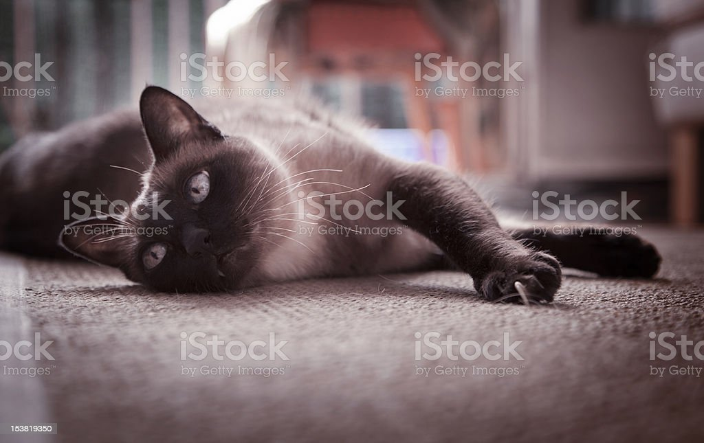 Siamese cat lying on a carpet royalty-free stock photo