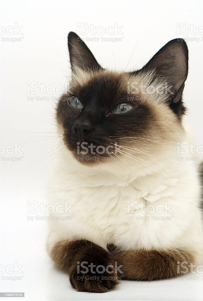 Siamese Cat royalty-free stock photo