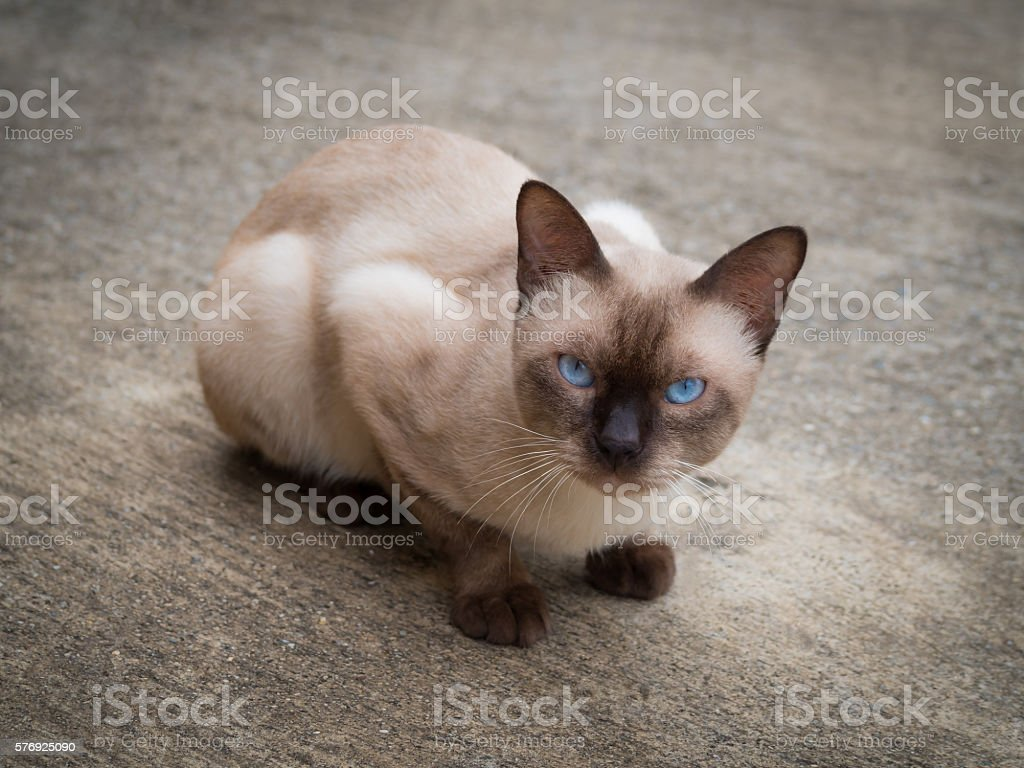 Siamese cat. Thai famous cat. stock photo