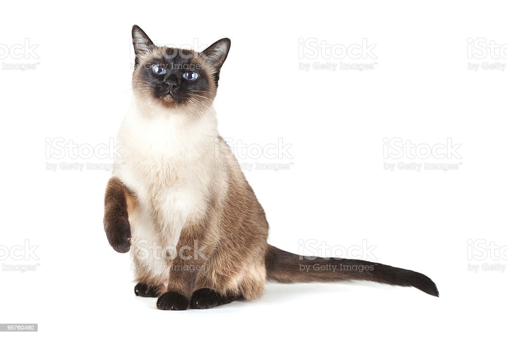 Siamese cat with blue eyes stock photo