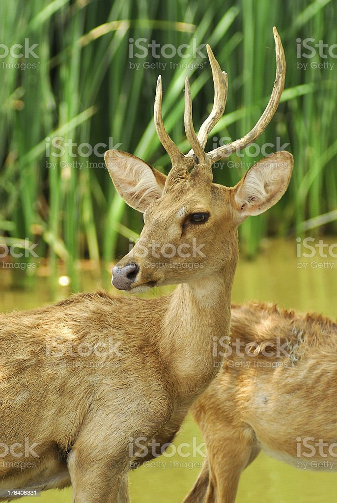 Siamese Eld's deers stock photo