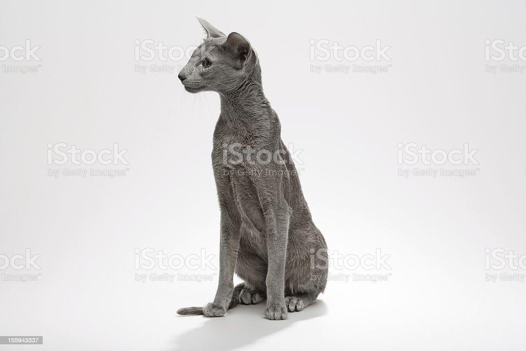 Siamese family Cat royalty-free stock photo